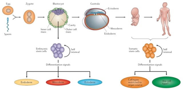 embryonic stem cells adult