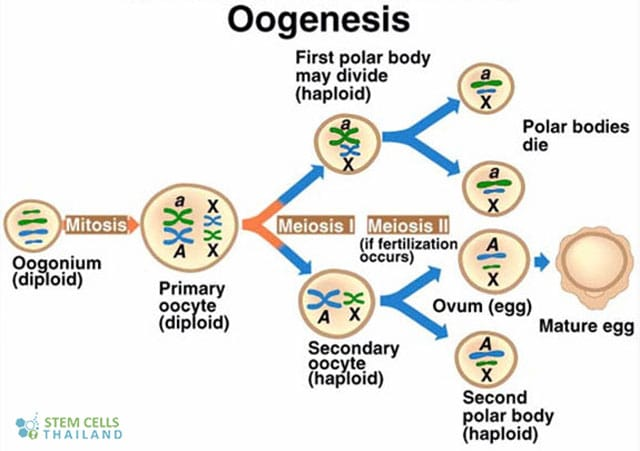 oogenesis-polar-body-formation