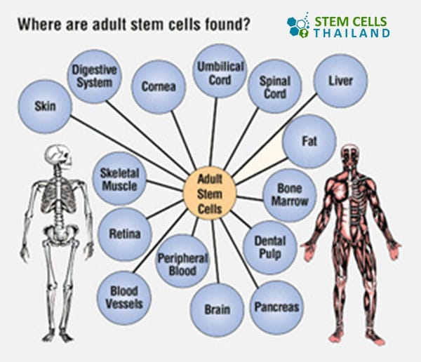 somatic-stem-cells-adult