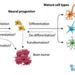 Neural Stem Cells   NSCs Glial Cells and Neurons Use in Treatments