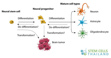 neural-stem-cells-thailand