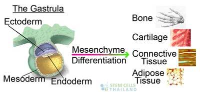 Ectoderm-mesoderm-endoderm