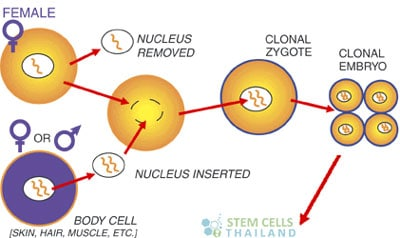 Somatic-Cell-Nuclear-Transfer-SCNT