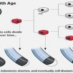 Benefits of Telomeres in Reversing Age & Gene Therapy