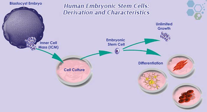 embryonic-cells