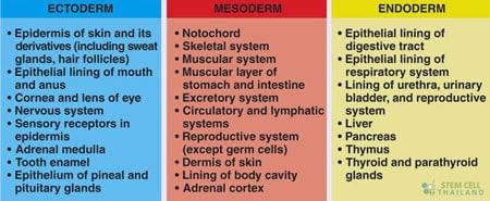 germ-layers-endoderm-ectoderm-desoderm