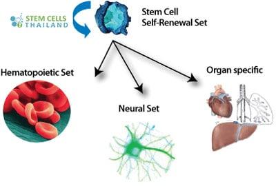 long-term-self-renewal-adult-cells