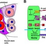 Stem Cell Niche Definition,Function,Structure for Signaling Pathways