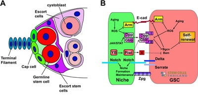 stem-cell-niche-Signaling-Pathways