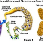 Autosomal Chromosome Definition Function and Structure