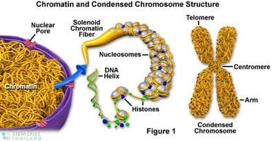 chromosome-chromatin