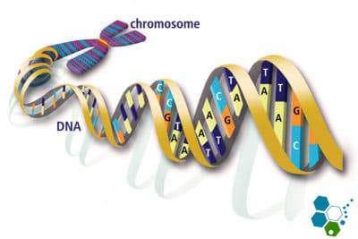 chromosome-dna