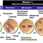 Meiosis Stages and Phases in Cell Division