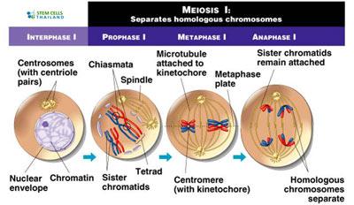meiosos-stage-1-stage2
