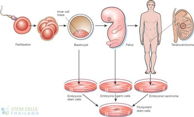embryonic-germ-cells