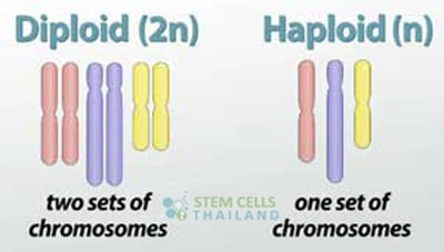 haploid-vs-diploid-meiosis