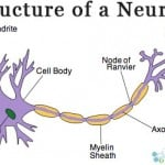 Neurons Definition and Function of Neurotransmitters