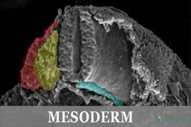mesoderm-germ-layer