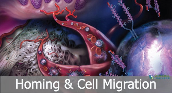 Homing And Migration Of Mesenchymal Stem Cells