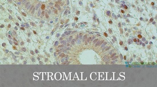 Stromal Cells Role In Immunoregulatory Function