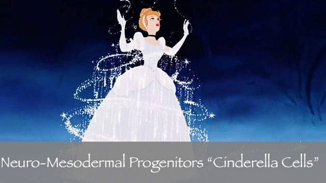 Neuro Mesodermal progenitors Cells cinderella NMP