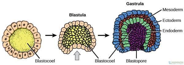 3-germ-layers-Gastrulation