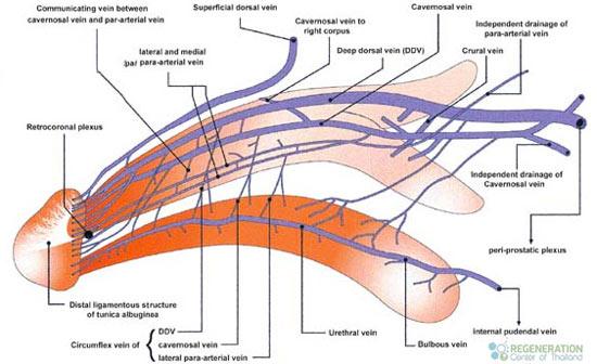 Treat Erectile Dysfunction thailand Treatment for Erectile Dysfunction ED with Angiogenesis
