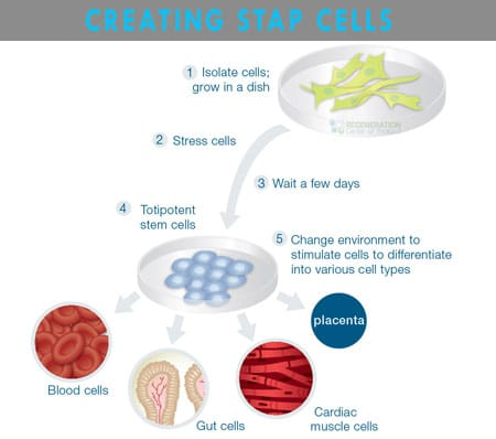 creating-pluripotent-stap-cells