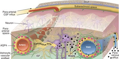 neural-lymphatic-system