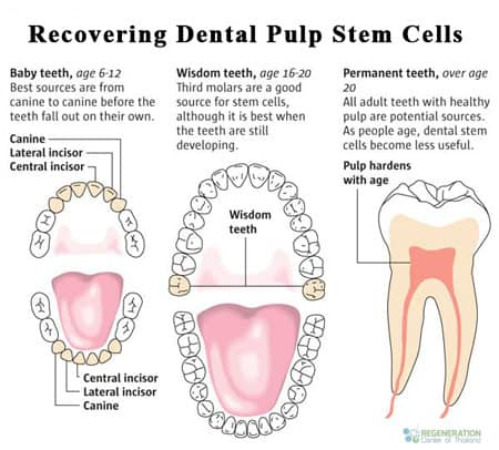 source-dental-stem-cells