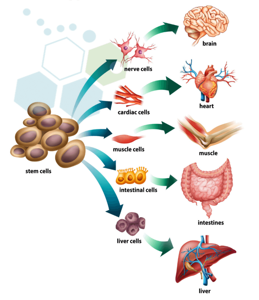 basics_of_stem_cells