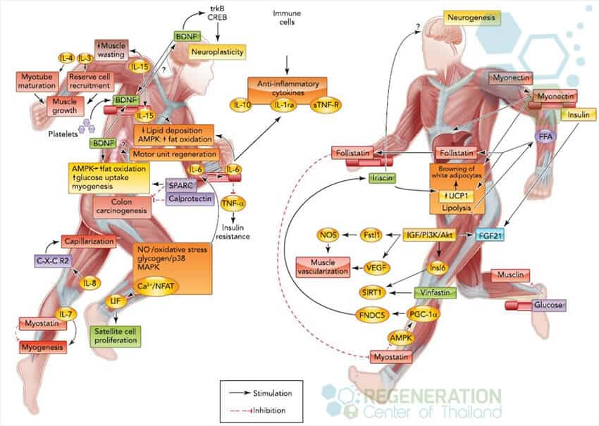 exercise-stem-cell-activator