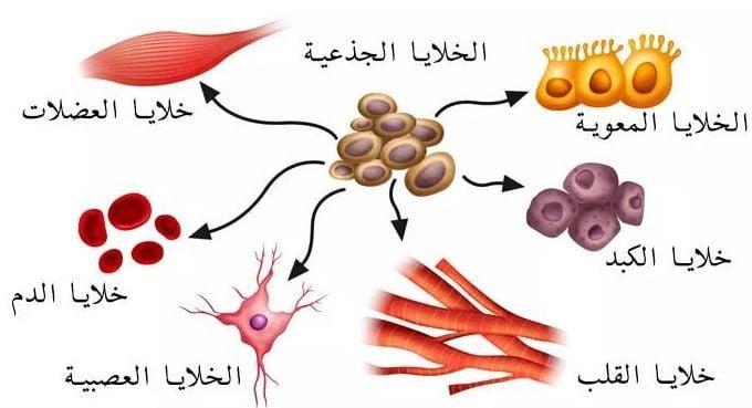 aما-هي-الخلية-الجذعية