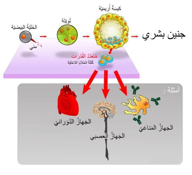 النوع-الاول-من-الخلية-الجذعية-الجنينية