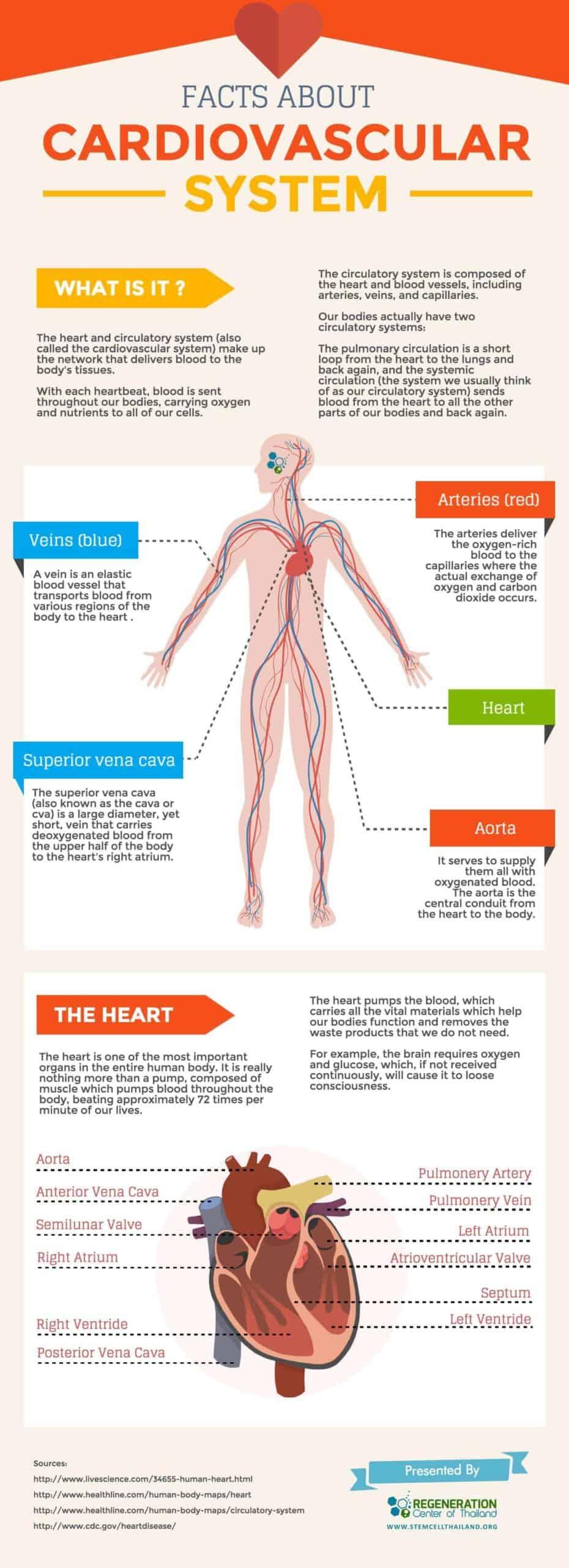The Cardiovascular System A Heart Infographic