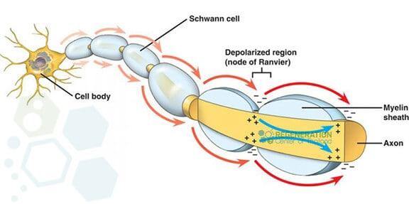 Transverse-myelitis-myelinated-nerve-fiber-conduction